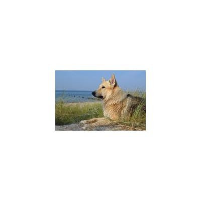 Canvas Print Baltic Sea Beach Sled Dog Wet Sea Pet Animal Dog Stretched Canvas 10 x 14