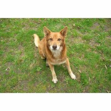 Canvas Print Pets Animal Man's Best Friend Redhead Pet Dog Stretched Canvas 10 x 14