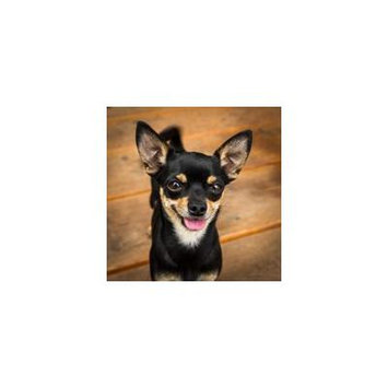 Canvas Print Good Pet Small Animal Fur Dog Chiuawa Sweet Stretched Canvas 10 x 14