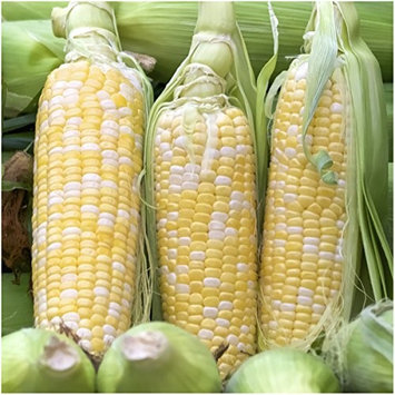 Seed Needs: Vegetables Package of 230 Seeds, Peaches & Cream Sweet Corn (Zea mays) Non-GMO Seeds By Seed Needs