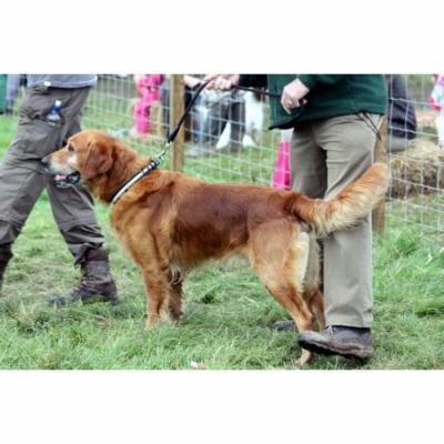 Canvas Print Pet Canine Dog Animal Lead Retriever Handler Stretched Canvas 10 x 14