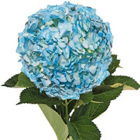 Fresh Cut Airbrushed Aqua Hydrangeas, Pack of 15 by InBloom Group