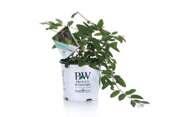 Proven Winners Sugar Mountain Blue Sweetberry Honeysuckle (Lonicera) White Flowers and Blue Fruit, 1 Gallon