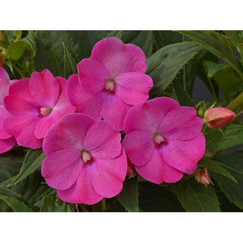 Delray Plants Ready to Bloom Sunpatiens - Fresh from the Farm - Lilac - 4 pack