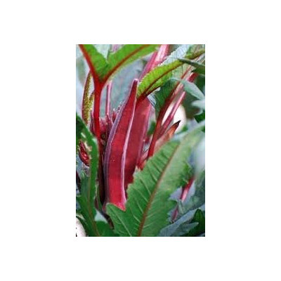 The Dirty Gardener Red Burgundy Okra Seeds - 1 Pound