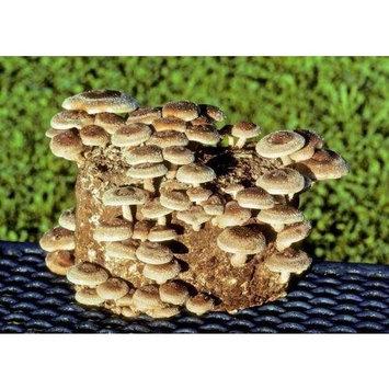 The Shiitake Mushroom Kit - Indoor Mushroom Growing Kit - Grow Edible Mushrooms & Fungi. Easy & Fun Mush Room Garden Patch Grow Kits
