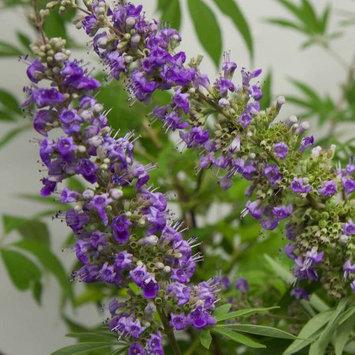 Flowerwood Nursery, Inc. Vitex Agnus-Castus