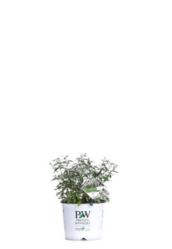 Proven Winners Miss Pearl Butterfly Bush (Buddleia) Live Shrub, White Flowers, 3 Gallon