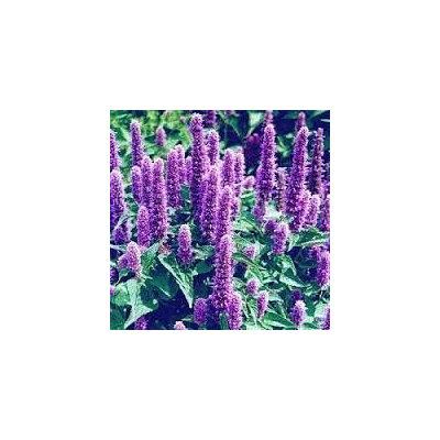 The Dirty Gardener Heirloom Agastache Lavender Hyssop Flowers - 5,000 Seeds
