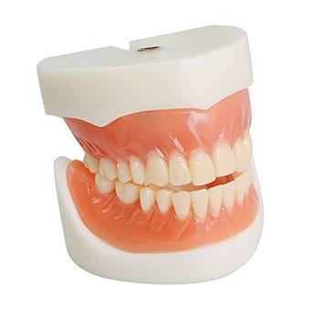 Zorvo Dental Teach Study Adult Standard Demonstration Model Teeth