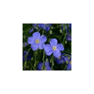 The Dirty Gardener Linum Lewisii Blue Flax - 0.25 Pound
