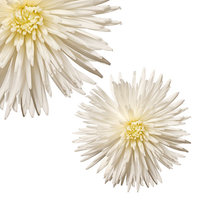 Natural Fresh Flowers - White Spider Mums, 50 Stems