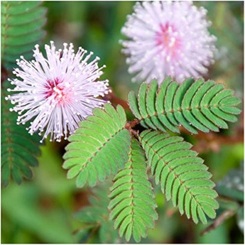 Seed Needs: Flowers Package of 100 Seeds, Sensitive Plant 'Compact Growth' (Mimosa Pudica) Non-GMO Seeds by Seed Needs
