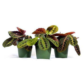 9Greenbox Red Prayer Plant, Marantaceae, 15.9 Ounce (Pack of 3)