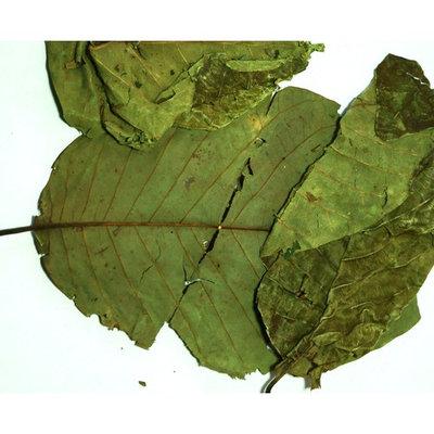 Holistic Herbal Solutions, LLC Graviola Soursop Whole Leaves