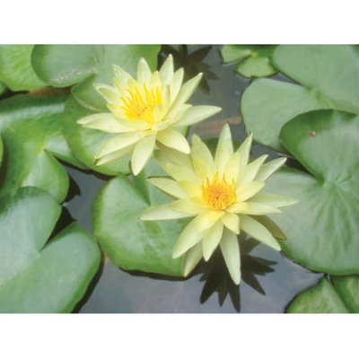 Bloomsz Nymphaea Water Plant Lily Chromatella, Root / Flower Bulb