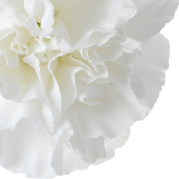 Natural Fresh Flowers - White Carnations, 100 Stems