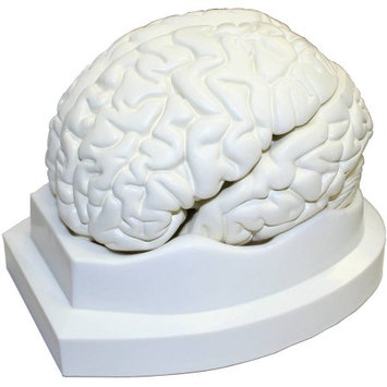 Walter Products Life Size Brain Models, 3 Parts