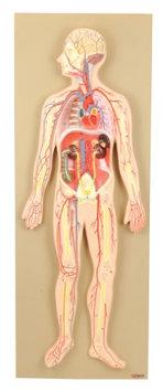 Eisco Labs Model, Human Circulatory System, Half-Size