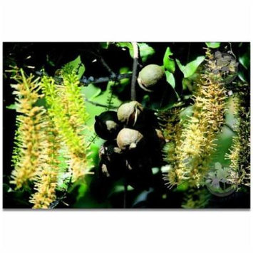 Hawaiian Macadamia Nut Seeds - 1 Pack - 4 Seeds