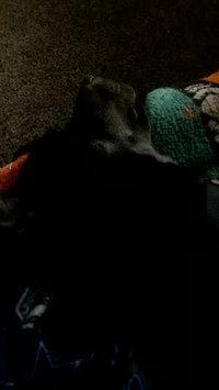 Video of KONGA Comfort Dog Harness & Traffic Loop uploaded by Brooke V.